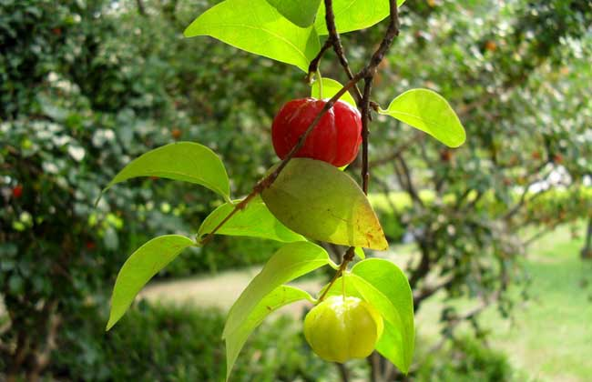 灯笼果的种植条件