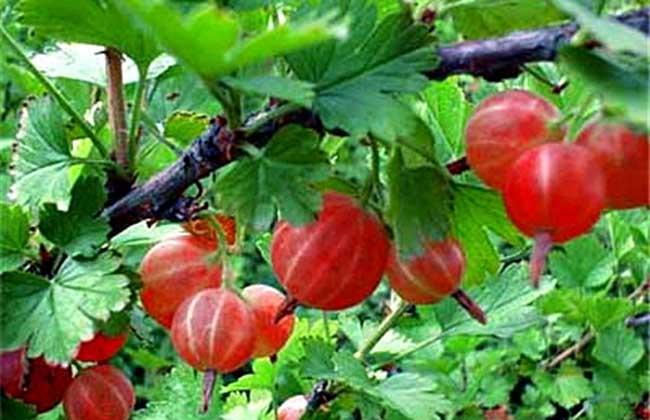 灯笼果种植技术