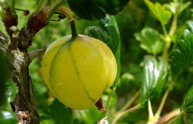 灯笼果的繁殖技术
