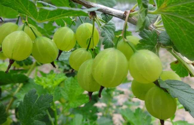 灯笼果种植条件