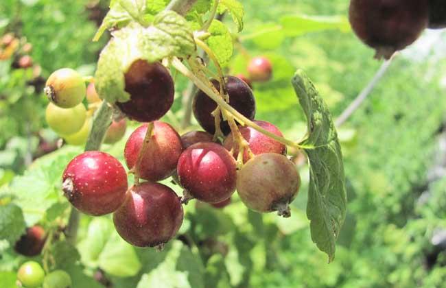 灯笼果种植技术视频