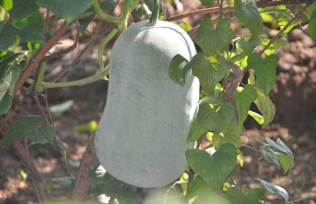 冬瓜的种植技术
