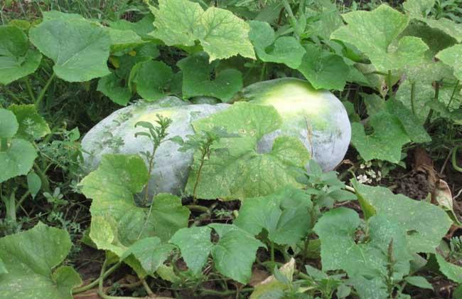 冬瓜的产地分布