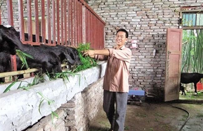 农民怎样利用青饲料喂养黑山羊
