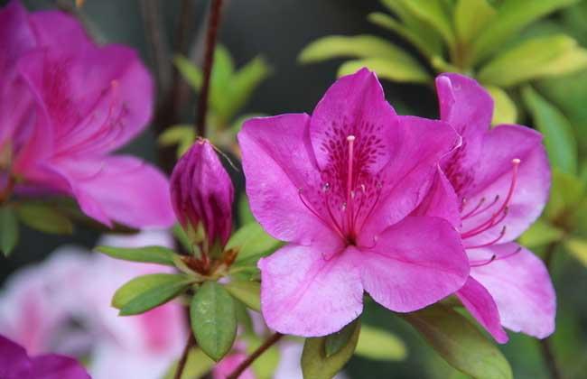 杜鹃花的产地分布及生长环境