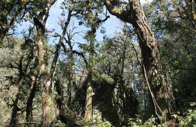 世界上最大的杜鹃花树