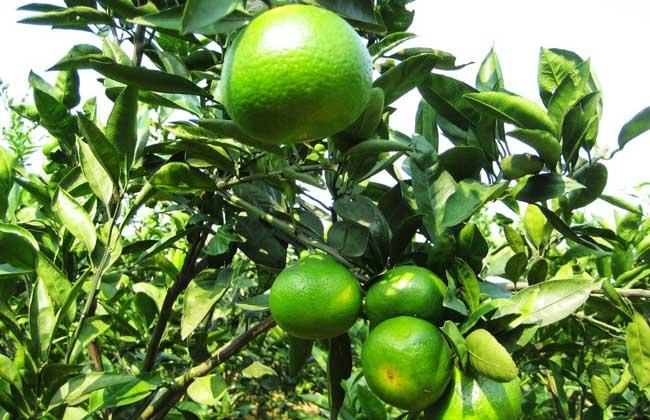 柑橘类水果有哪些