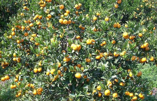柑橘的种植技术