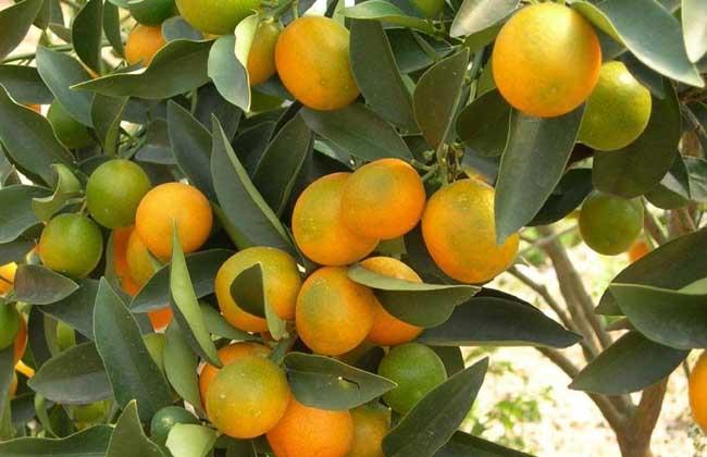 柑橘的病害防治