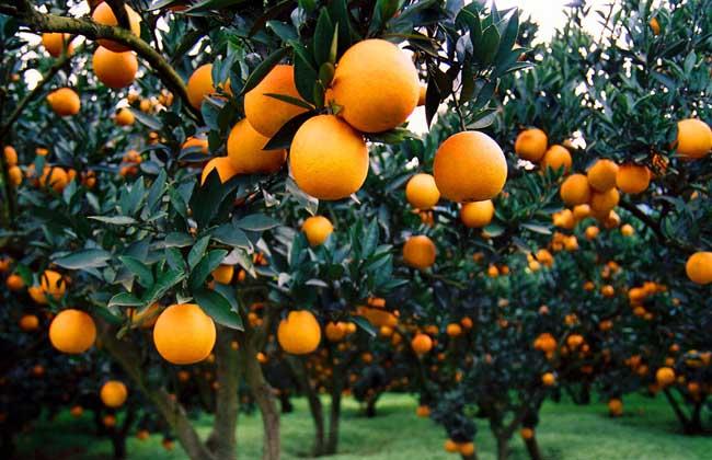 柑橘的虫害防治