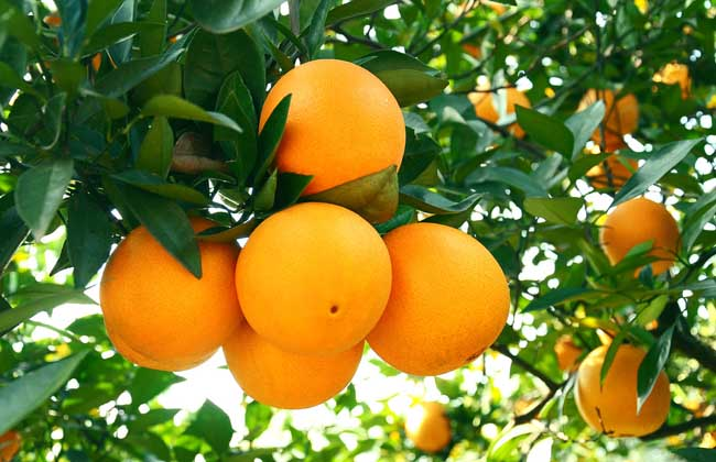 柑橘类水果图片大全