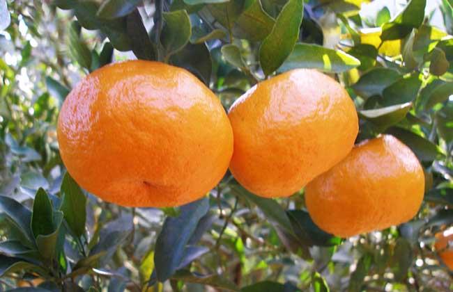 柑橘的产地分布