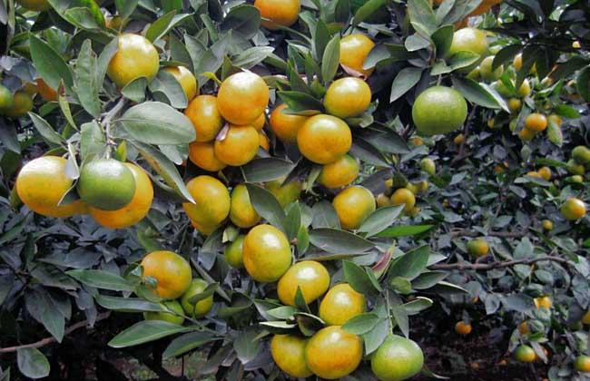 柑、橙、橘、柚的区别