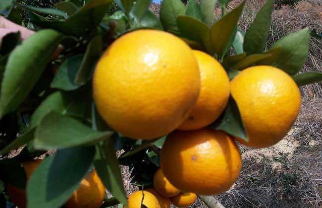 柑橘的存储方法有哪些?