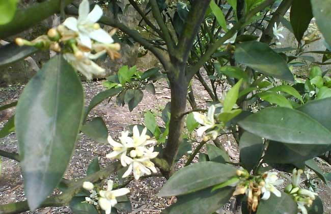 柑橘的种植条件