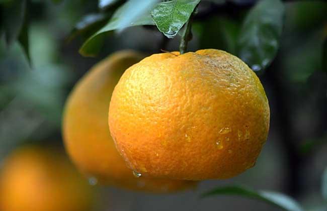 柑橘种植技术视频