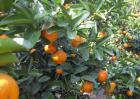 柑橘的病虫害防治技术