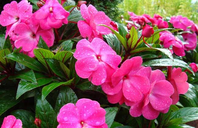 凤仙花的常见种类