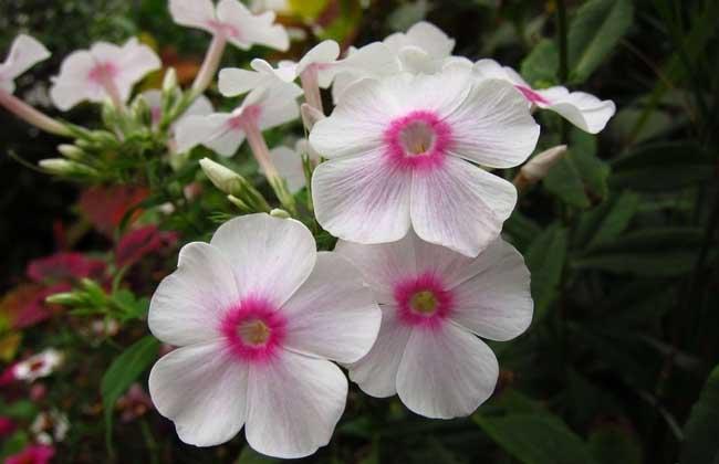 凤仙花的花语是什么?