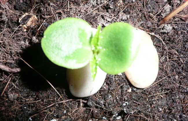 凤仙花的播种繁殖方法