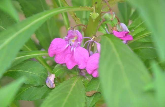 凤仙花的产地分布和生长条件