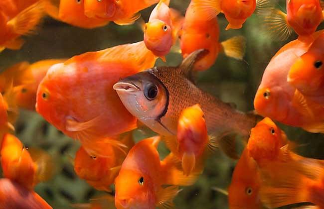 观赏鱼的种类