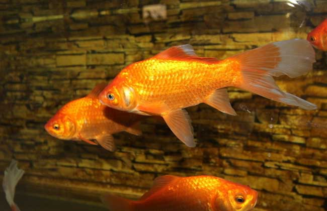 观赏鱼的投喂技巧