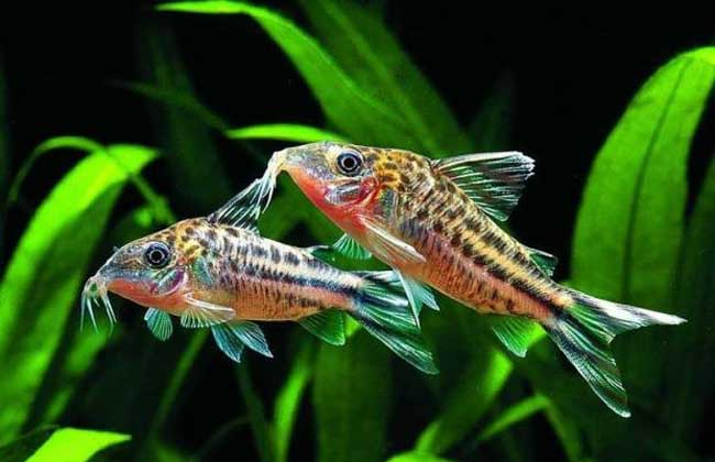 淡水观赏鱼的种类及图片大全