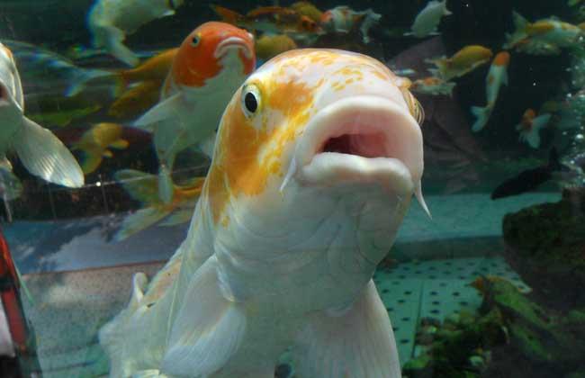 观赏鱼吃什么食物