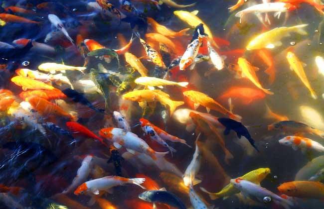 观赏鱼的品种分类有哪些?