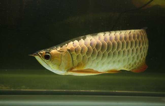 温带淡水观赏鱼