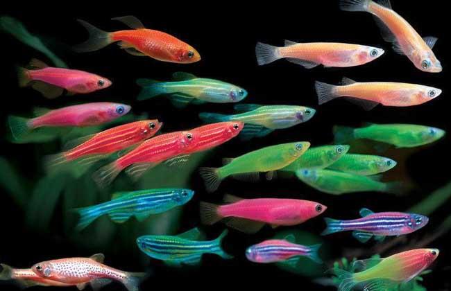 热带淡水观赏鱼