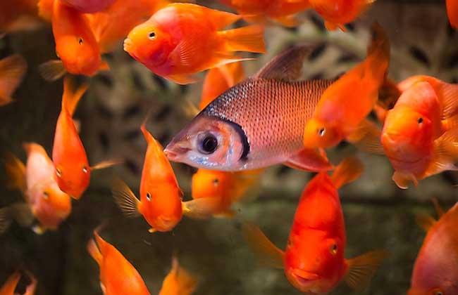 观赏鱼疾病防治