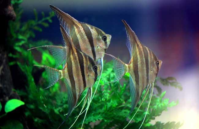 观赏鱼养殖技术视频