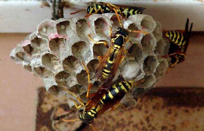 胡蜂的种类及图片大全