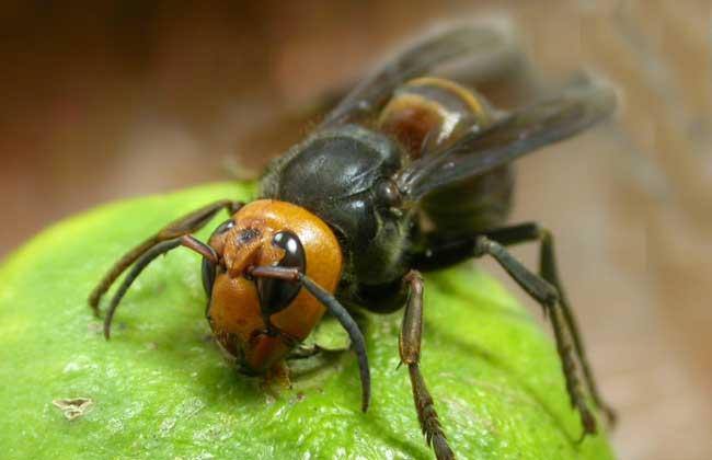 黑绒虎头蜂