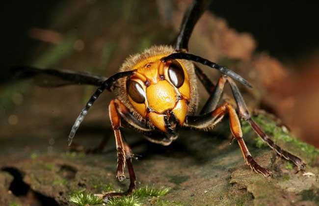胡蜂的寿命有多长?