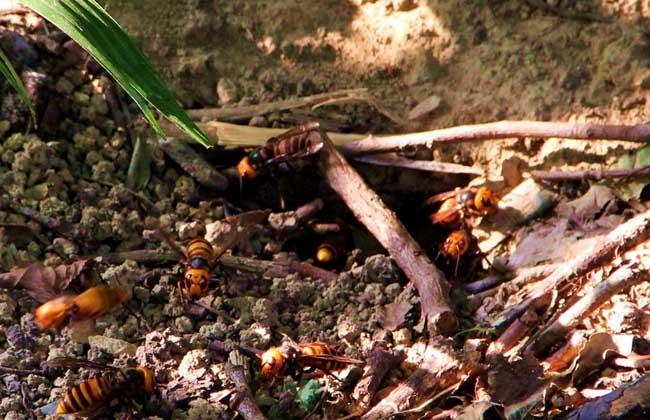 马蜂的生活习性
