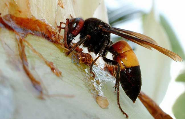 马蜂和蜜蜂的的区别
