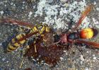 胡蜂蜇人怎么办?