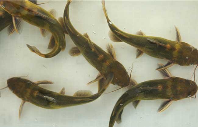 黄颡鱼的网箱养殖方法