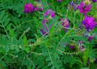 黄芪的种植条件