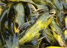 黄颡鱼的营养价值