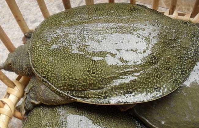 甲鱼的繁殖技术