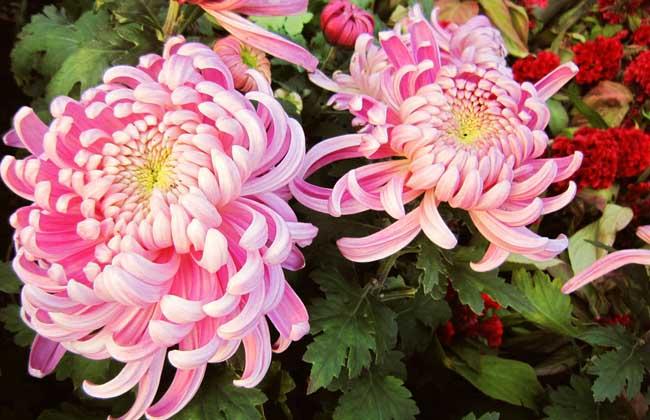 菊花的品种分布