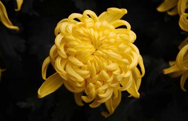 菊花的产地分布