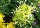 菊花种类图片大全