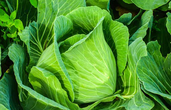 卷心菜品种及图片大全