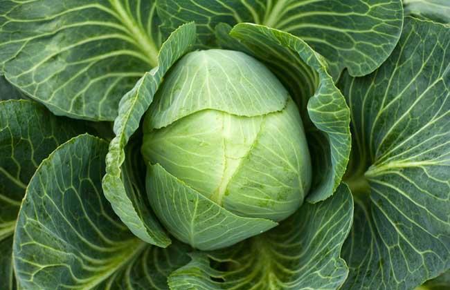 黄芽菜、白菜、包菜和卷心菜的区别