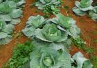 卷心菜的种植时间